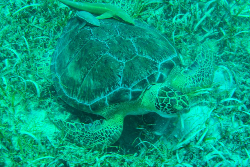 Private boat snorkeling and Turtles on St Maarten